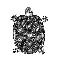 hand drawn turtle vector image vector image