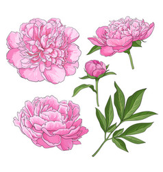 peony flowers bud leaves hand drawn sketch vector image vector image