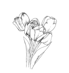 Tulips on a white background vector image