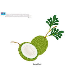 Ripe breadfruit popular fruit in micronesia vector