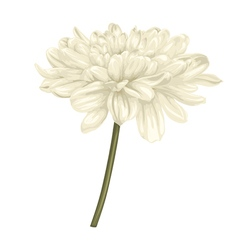Beige dahlia with stem isolated on white vector