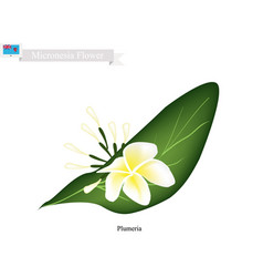 plumeria frangipanis the national flower vector image vector image
