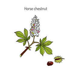 horse chestnut or conker tree aesculus vector image