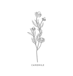 Camomile hand drawn realistic sketch vector