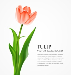 Beautiful tulips vector image vector image