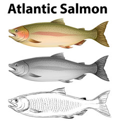 Three drawing styles of atlantic salmon vector