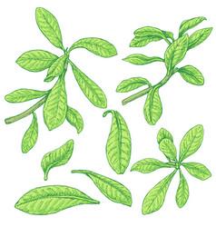 Synadenium branches sketch vector