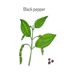 Black pepper plant vector