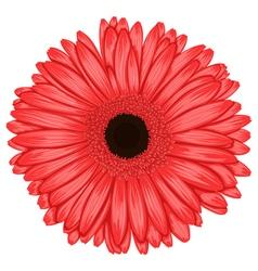 Beautiful pink gerbera isolated on white vector image