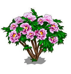 bush of pink peonies isolated on white background vector image vector image