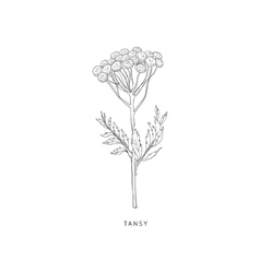 Tansy hand drawn realistic sketch vector