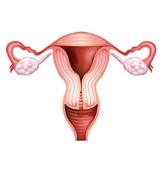 Female reproductive organ vector