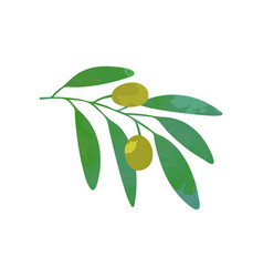 Olives on branch with green foliage natural food vector