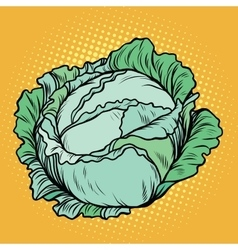 Cabbage healthy vegetarian food farm product vector