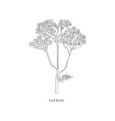 Yarrow hand drawn realistic sketch vector