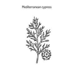 cypress sprig vector image