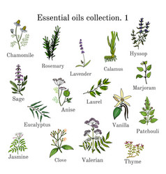 Set of essential oil plants hand drawn ector vector