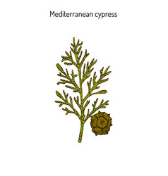 Cypress sprig vector