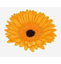 Yellow gerbera isolated on white background vector