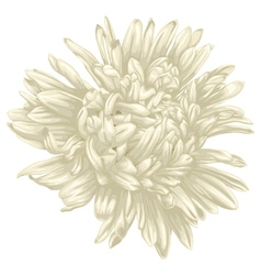 Beautiful beige aster isolated on white background vector