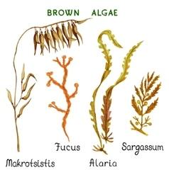 Brown algae vector