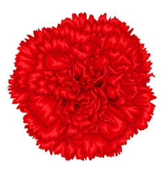 Beautiful red carnation isolated on white vector image