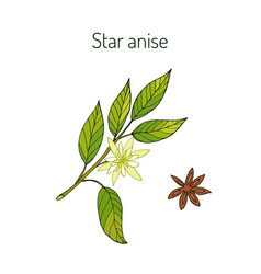 Star anise aromatic and medicinal plant vector