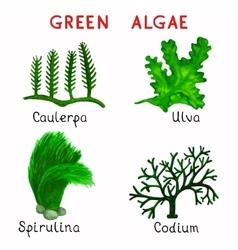 Green algae vector