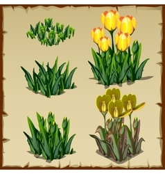 Stages of growth tulips planting and withering vector