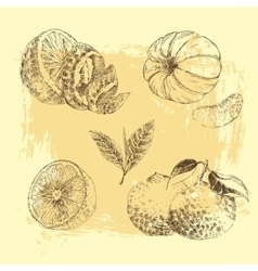 Vintage Ink hand drawn collection of citrus fruits vector image vector image