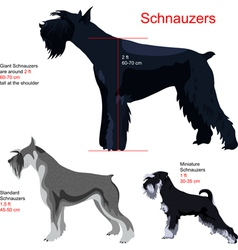 Schnauzer breed vector