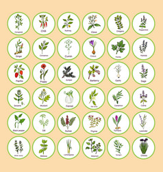 Hand drawn set of culinary herbs and spices vector