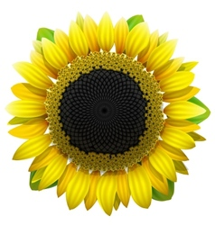 Sunflower on white background vector