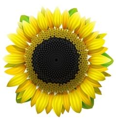 Sunflower on white background vector image