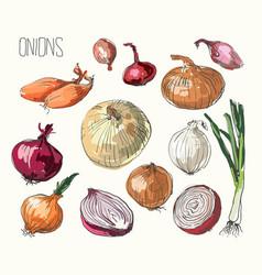 Onion set vector