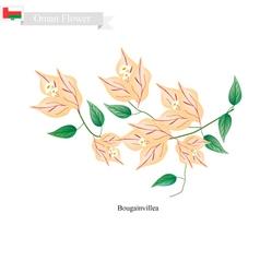 Orange bougainvillea flowers flower of oman vector