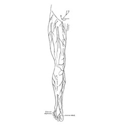 Leg nerves vintage vector