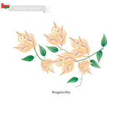 Orange bougainvillea flowers flower of oman vector