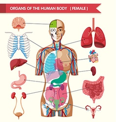 Organs of the human body diagram vector image vector image