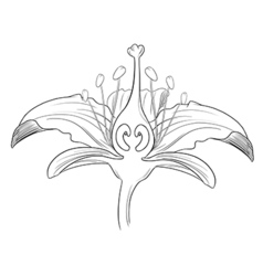 Tiger lily flower outline vector