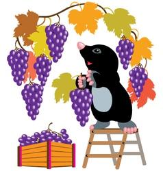 Mole harvesting grapes vector