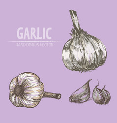 digital detailed garlic hand drawn vector image vector image