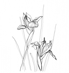 Drawing irises vector