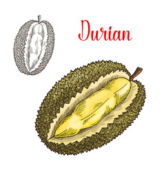 durian exotic fruit sketch icon vector image