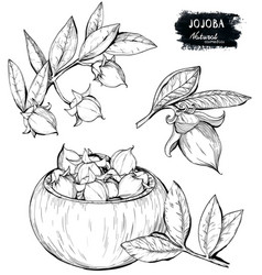 Jojoba Drawing Isolated Vintage Vector 16032672