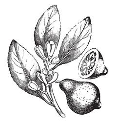 Lemon vintage vector