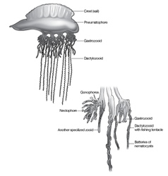 Man of War Jellyfish vector image vector image
