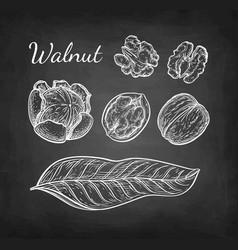 chalk sketch of walnuts vector image vector image