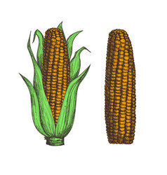 Corn cob hand drawn isolated icon vector