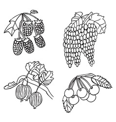 Fruits and berries grapes and gooseberry vector